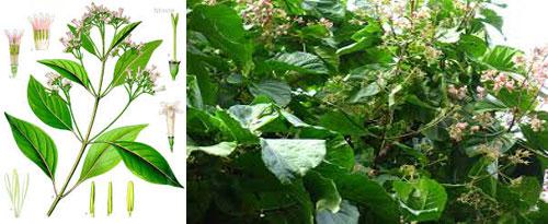 China Officinalis para homeopatia