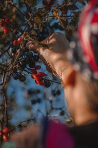 recolección de frutos